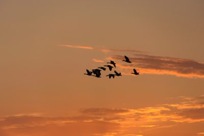 Mehrere Gänse fliegen im Sonnenuntergang am Himmel