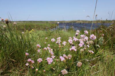 Blühende rosa Blumen in der Graslandschaft