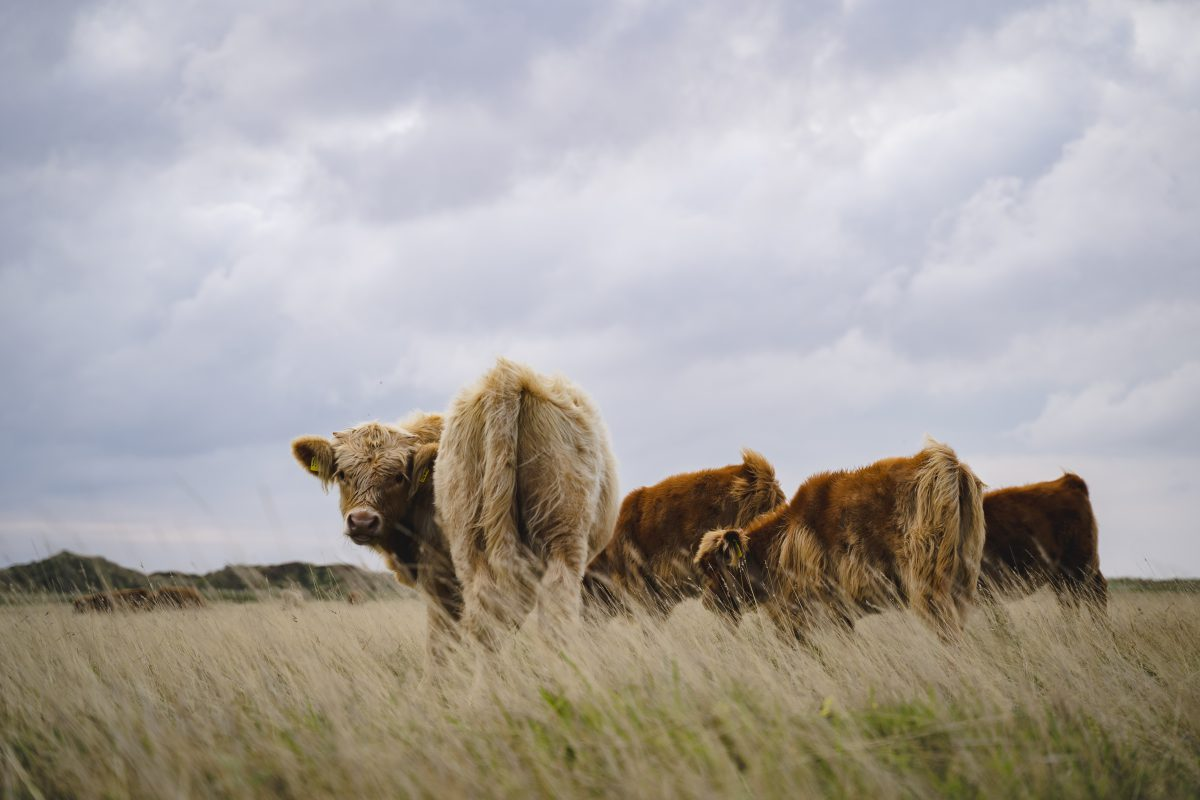 Vier braune wuschelige Kühe die auf der Weide stehen. Eine Kuh dreht sich in Richtung der Kamera.